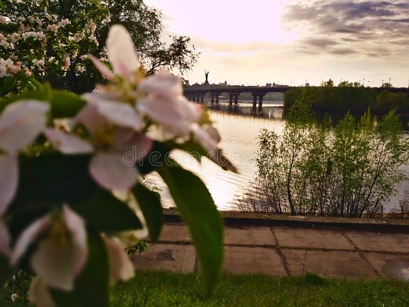 Photo of apple blossom on the background of a wide river Dnipro in Kiev and looking at the opposite bank and the bridge. After the rain stock photography
