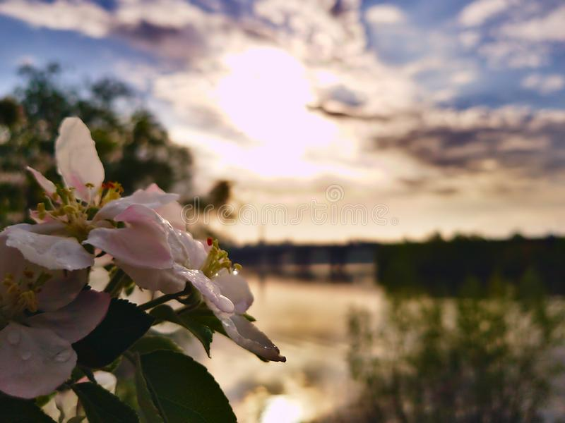 Photo of apple blossom on the background of a wide river Dnipro in Kiev and looking at the opposite bank and the bridge. After the rain royalty free stock photography