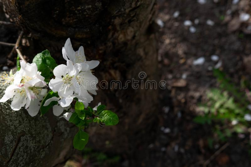 A photo of an apple tree flower growing on a tree bark with space for copispeys. Macro photo of white apple flower. Spring color stock photo