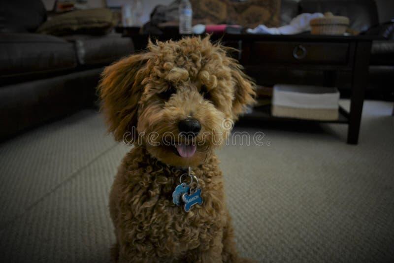 Miniature Poodle Puppy stock images