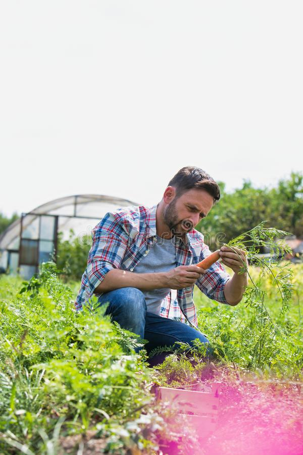 Attractive male farmer harvesting carrots on his organic farm with greenhouse in background. Photo of Attractive male farmer harvesting carrots on his organic stock images