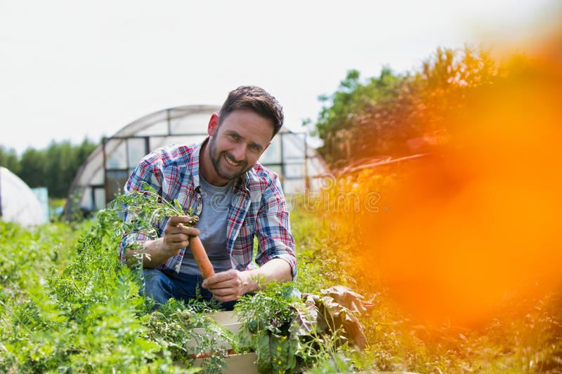 Attractive male farmer harvesting carrots on his organic farm with greenhouse in background. Photo of Attractive male farmer harvesting carrots on his organic royalty free stock image
