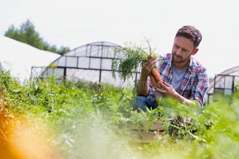 Attractive male farmer harvesting carrots on his organic farm with greenhouse in background. Photo of Attractive male farmer harvesting carrots on his organic stock photo