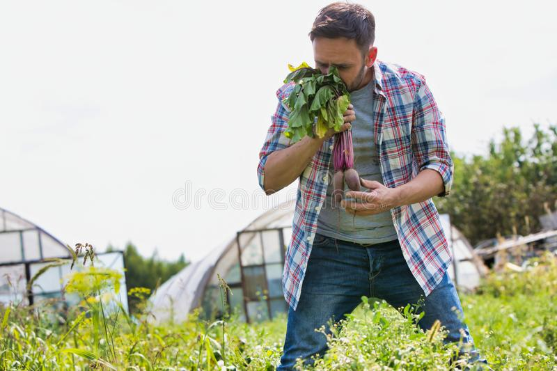 Attractive male farmer harvesting and smelling purple beets on his organic farm with greenhouse in background. Photo of Attractive male farmer harvesting and stock photo