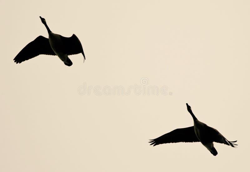 Photo avec deux oies de Canada volant dans le ciel photographie stock libre de droits