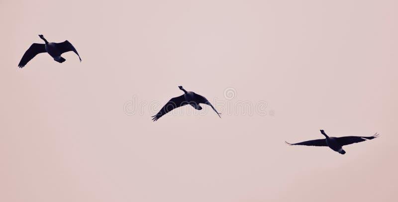 Photo avec trois oies de Canada volant dans le ciel photographie stock libre de droits