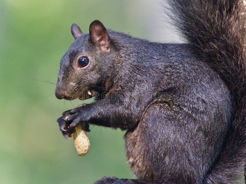 Photo avec un écureuil noir drôle mangeant des écrous photographie stock libre de droits
