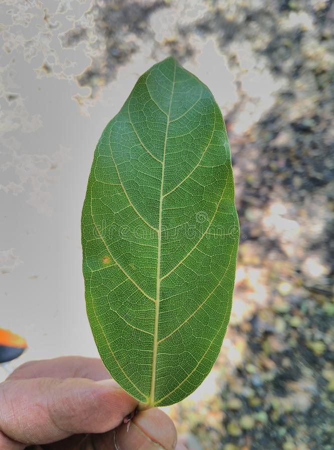 Tree Leaf royalty free stock photos