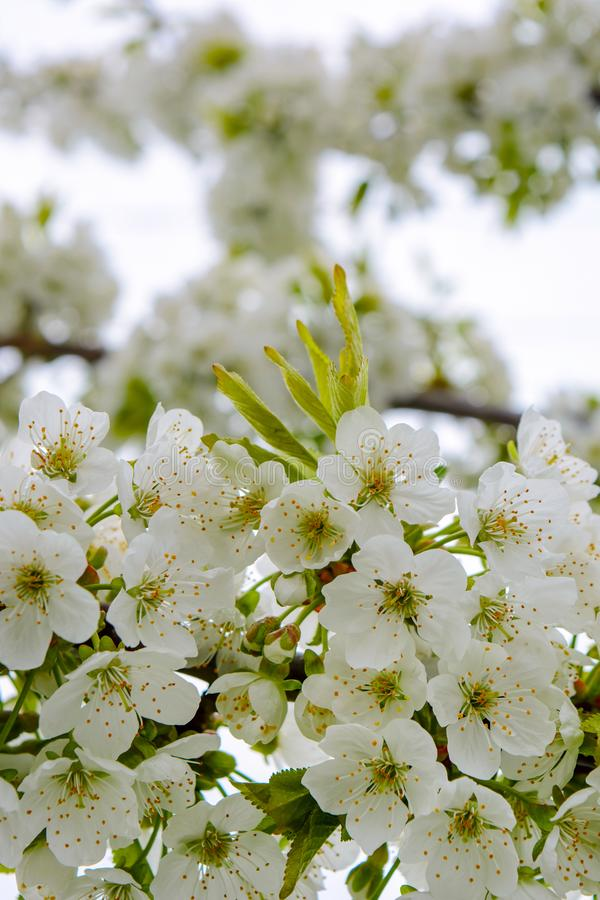 Photo of blooming apple tree branches against the sky stock images