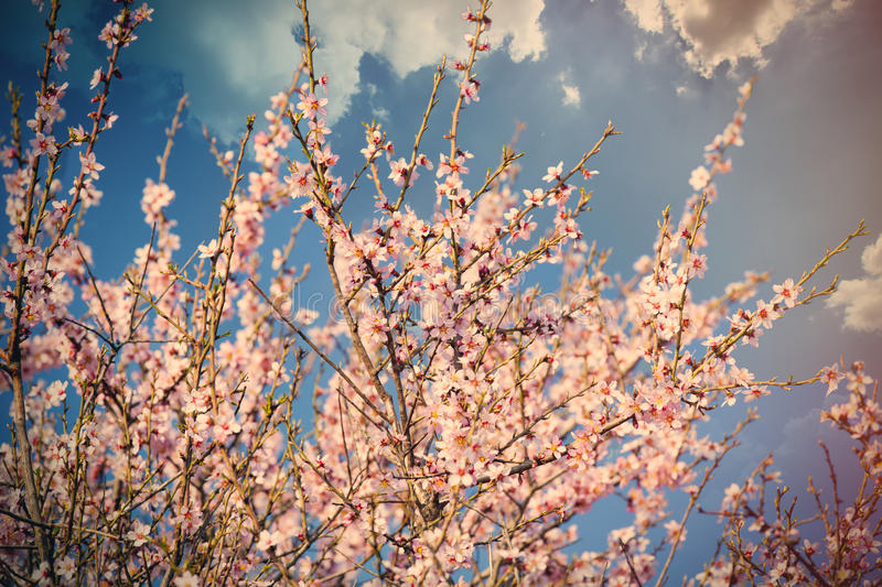 photo of beautiful blooming tree with wonderful small pink flowers in spring stock images