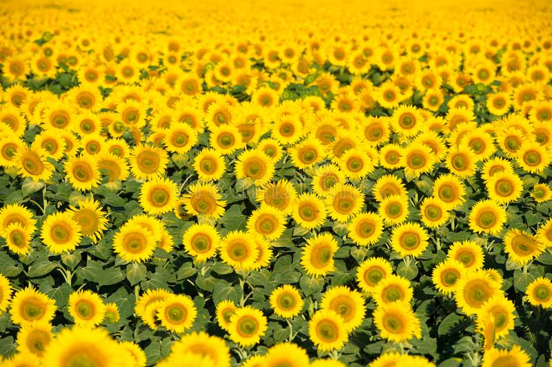 Photo of beautiful bright colored sunflowers. royalty free stock images