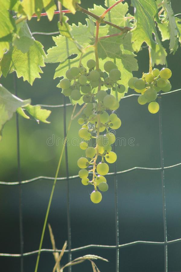The beautiful bunch of grapes royalty free stock photos