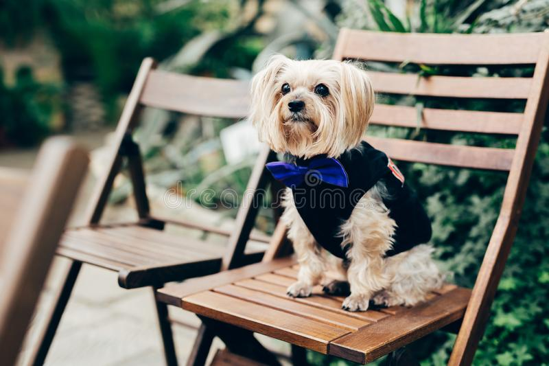 Photo of beautiful fluffy dog in festive clothes with bow tie, sits on wooden chair, waits for wedding ceremony outdoor. Animals royalty free stock images