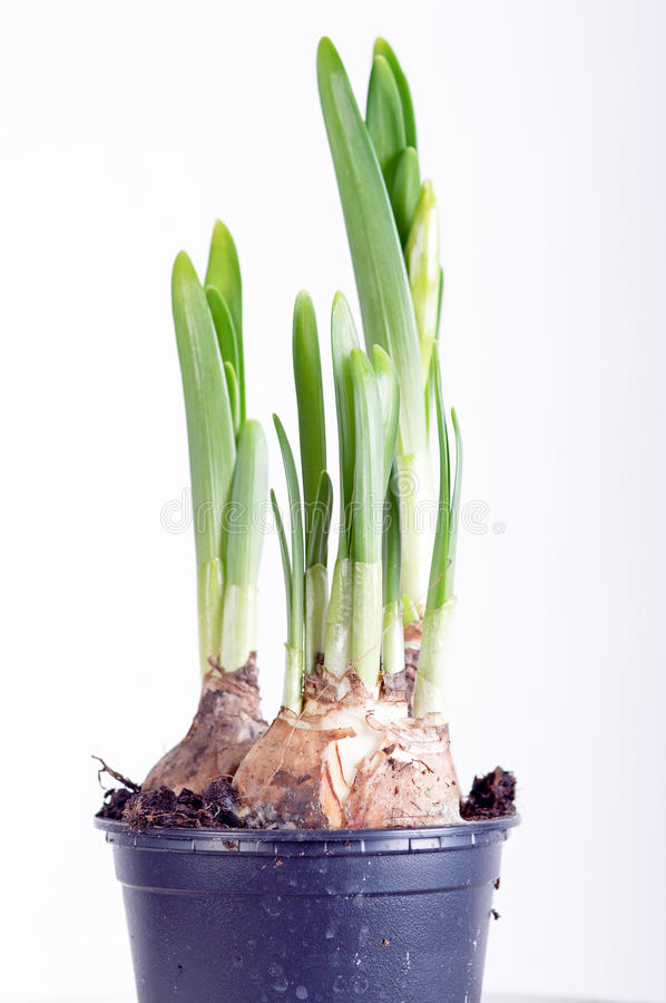 Beautiful narcissus stock image