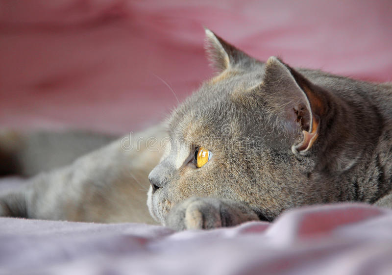 British shorthair cat face side profile stock photos