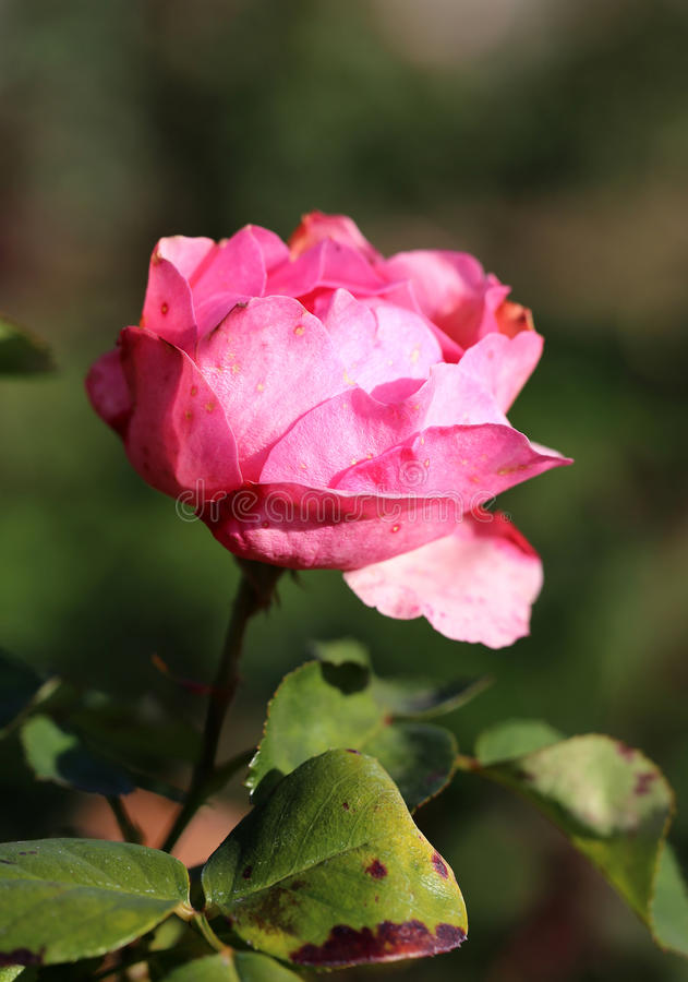 Photo beautiful pink rose. Photo bright pink rose illuminated by the sun royalty free stock image