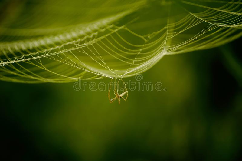 Beautiful spider on the web royalty free stock photo