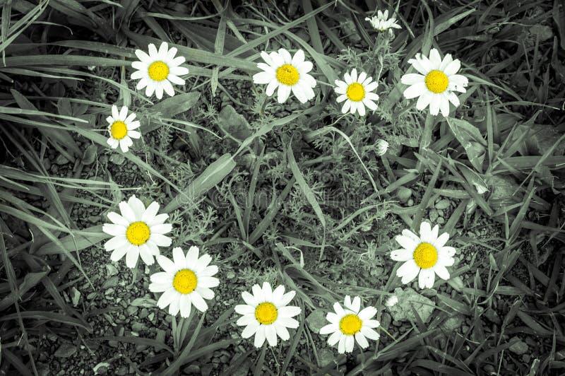 photo of beautiful summer chamomiles. royalty free stock photography