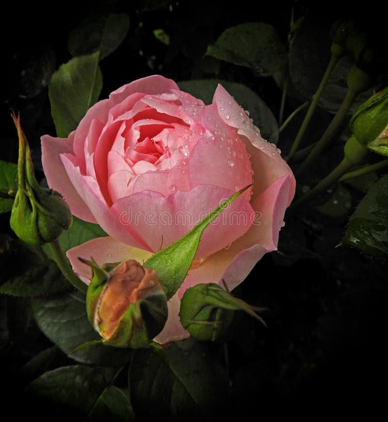 Renaissance old master`s watercolour painting pink rose. Photo of a beautiful summer pink rose in the style of an old master`s renaissance watercolour painting stock image