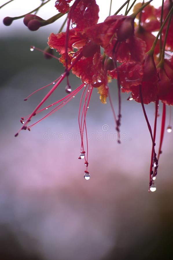 Beautiful water droplets on the flowers royalty free stock photo