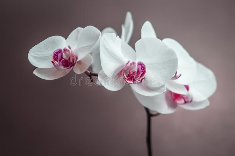 Beautiful Orchid royalty free stock images