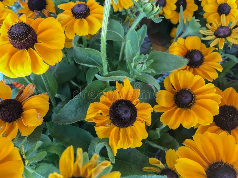 Yellow Black-Eyed Susan Daisy Flowers in Bloom royalty free stock image