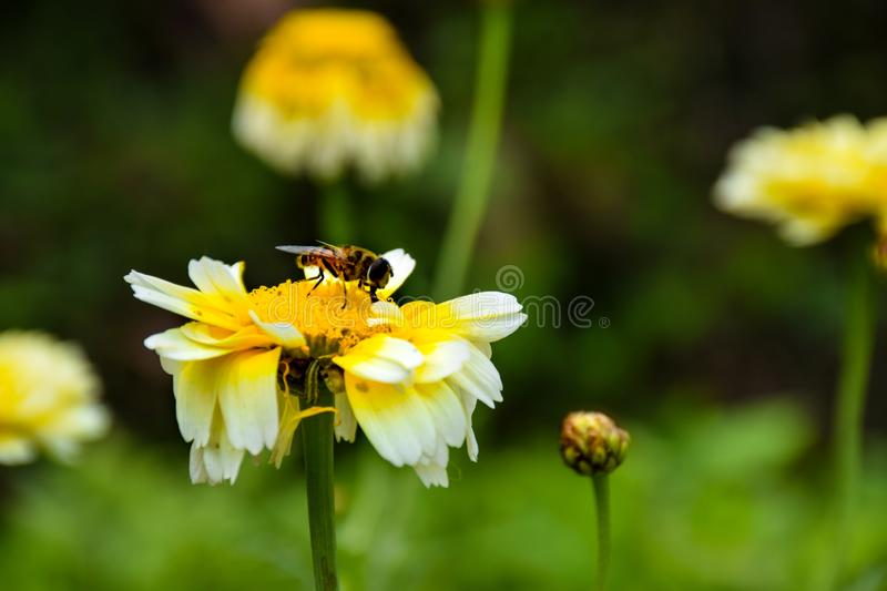 Photo of a Bee on grass flowers eating nectar in a garden. royalty free stock image