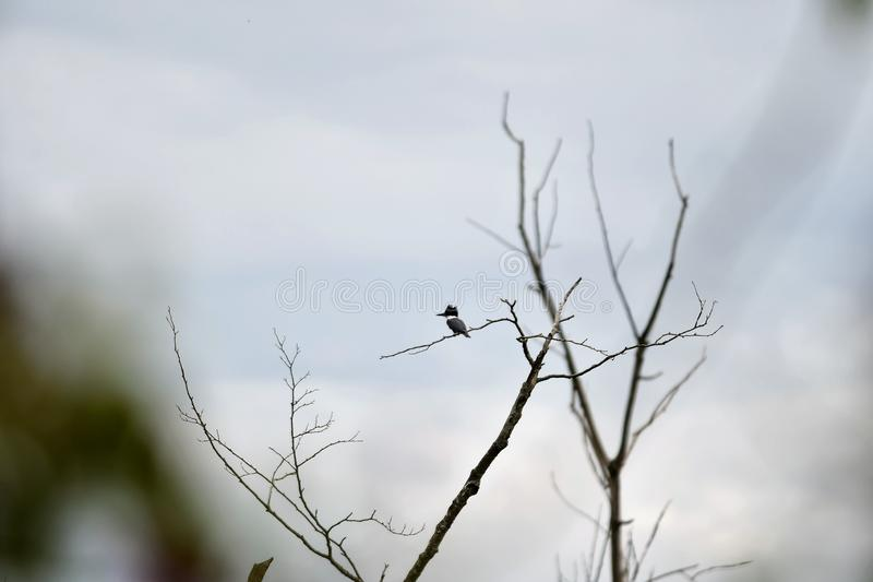 A photo of Belted Kingfisher perched on a tree.  stock photography