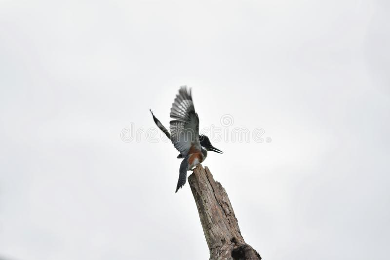 A photo of Belted Kingfisher perched on a tree.  stock images