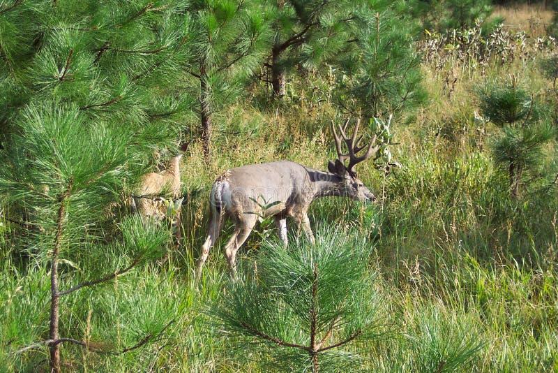 Big Mule Deer in Yosemite National Park stock photo