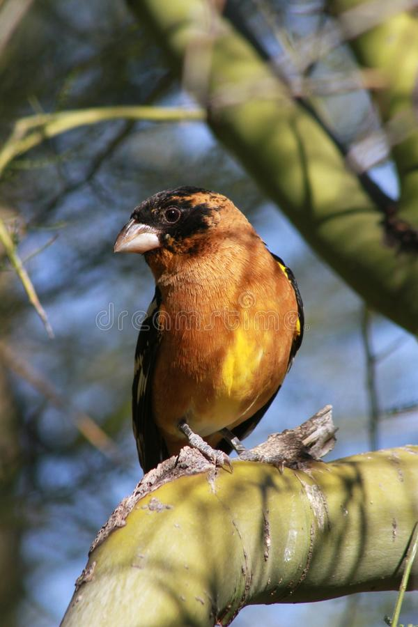 Black Headed Grosbeak in the Arizona Sonora Desert Museum. This is a photo of a black headed grosbeak taken at the Arizona-Sonora Desert Museum in Tucson while I royalty free stock image