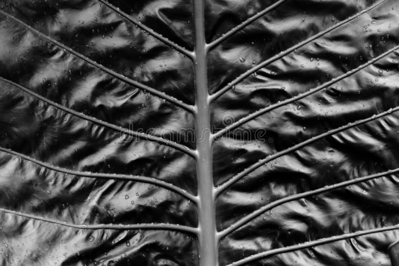 Black and white photography of Cycas revoluta leaves. royalty free stock photography