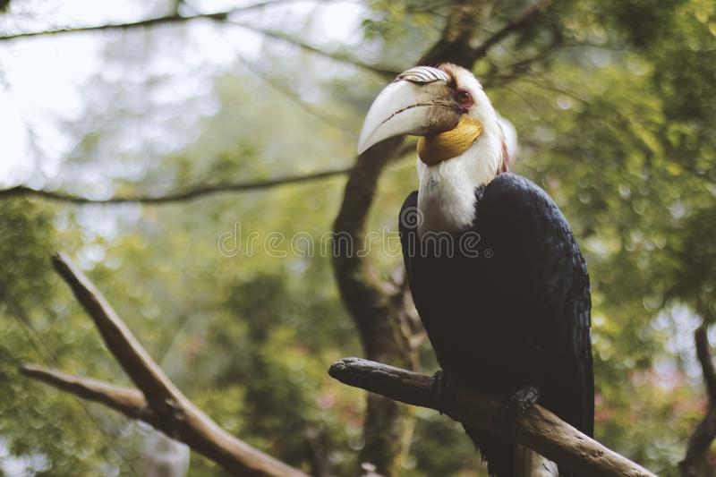Photo of a Black and White Wreathed Hornbill Perched on a Branch. royalty free stock photos