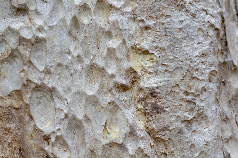 Photo blanche de texture d'écorce d'arbre Fond en bois pâle d'écorce Arbre forestier tropical avec l'ornement naturel images stock