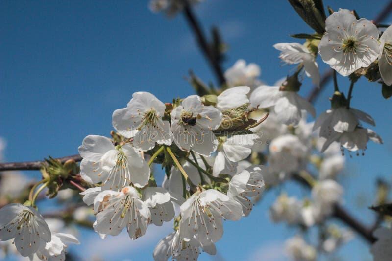 Photo of blooming cherry tree stock photo