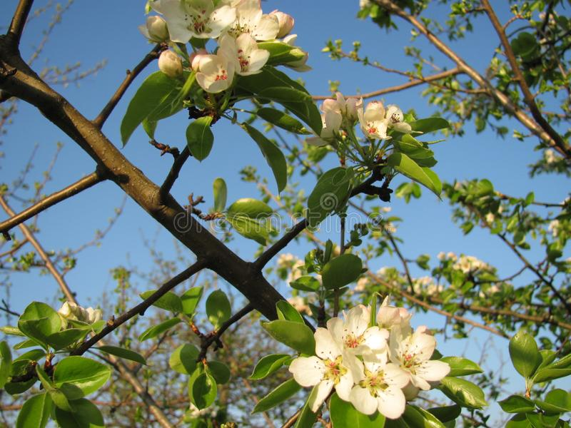 The blooming tree in the garden stock images