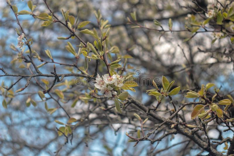 Photo of blooming pear tree royalty free stock photography