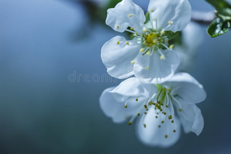 Photo of blossoming tree brunch with white flowers on bokeh green background stock photo