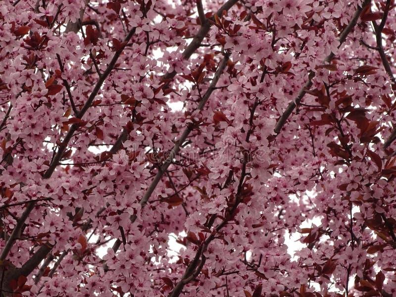 Blossoms of variety black cherry plum Prunus cerasifera `Nigra` stock image