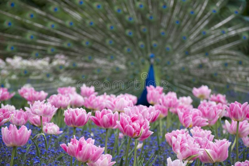 Photo of blured peacock with flowers. Photo of blured peacock with pink flowers on the foreground royalty free stock images