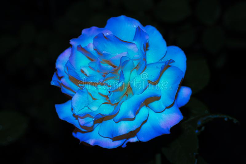 Photo of a bright blue rose with dew drops on petals on a black background of a night street.  stock photos