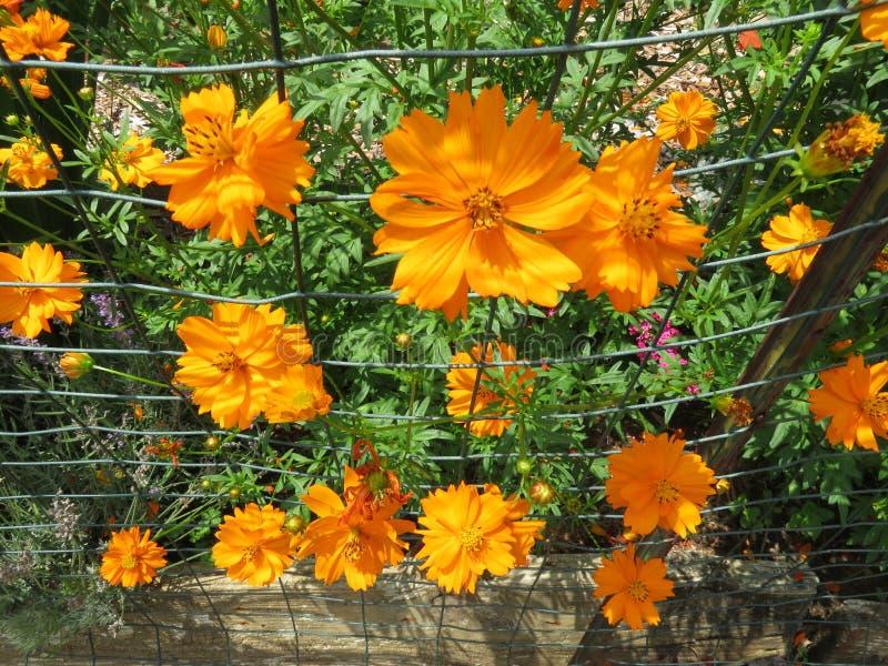 Bright Orange Flowers in Summer stock images