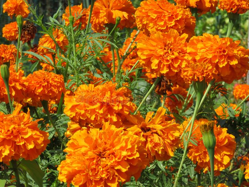 Bright Orange Marigold Flowers in September royalty free stock images