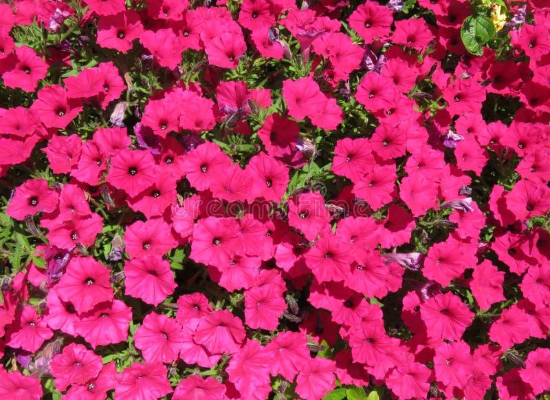 Bright Pink Petunias in a Summer Garden in June stock photos