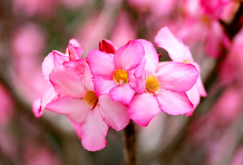Photo of bright pink spring flowers. On blurred background stock photo