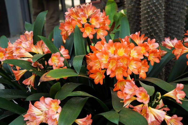 Photo of brightly orange tropical flowers in a pot stock images