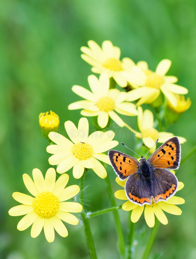 Photo of brown butterfly on yellow flowers in spring over green. Grass background royalty free stock photography