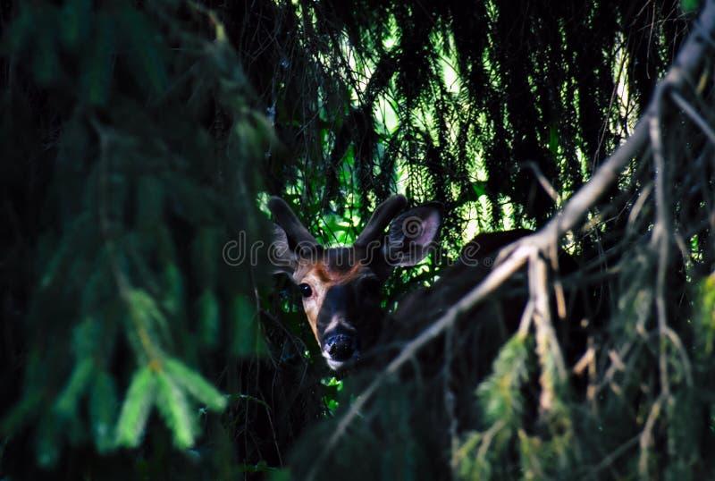 Photo of Brown Deer Near Green Leaf Tree royalty free stock photo