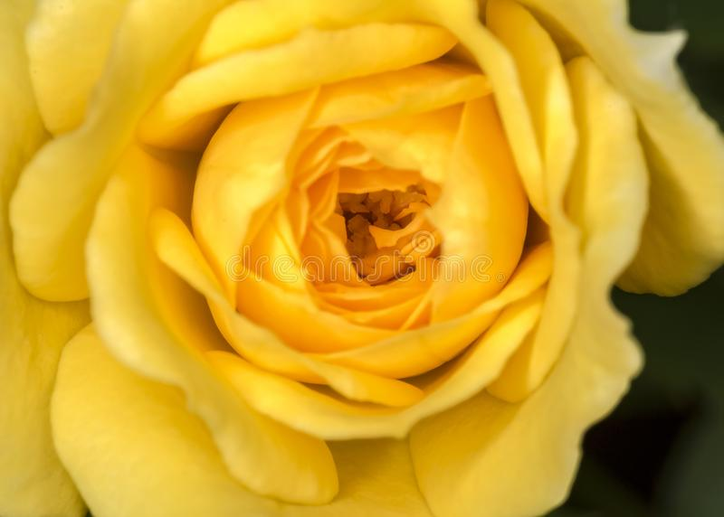 Bud rose Yellow flower close up. Photo of Bud rose Yellow flower close up stock photo