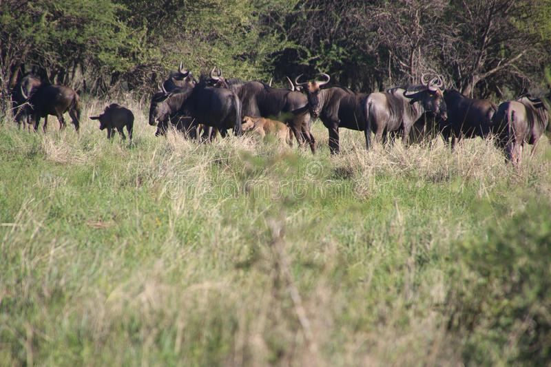 Photo of Buffalos in the Field royalty free stock photos